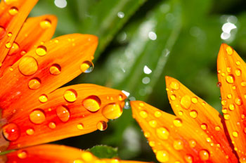 macro_flower_droplets